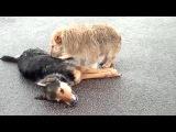 Собаки не бросили своего сбитого друга.
